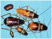 Cucaracha-rayacafe