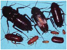 Control y eliminacion de cucarachas