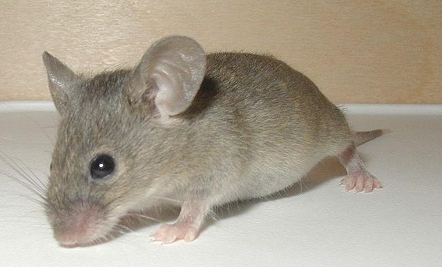 Fumigadora costa rica control de plagas de insectos y - Ratones en casa eliminar ...