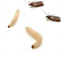 Fumigadora costa rica control de plagas de insectos y roedores polillas - Como eliminar la polilla de la madera ...