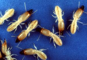 fumigación contra termitas reticuli